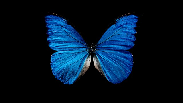 Blue butterfly black background